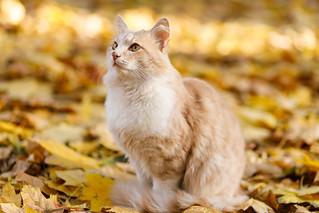 Ryzhik (Red Cat)