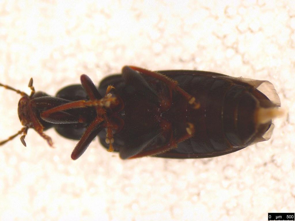 6c - Alleculinae sp.