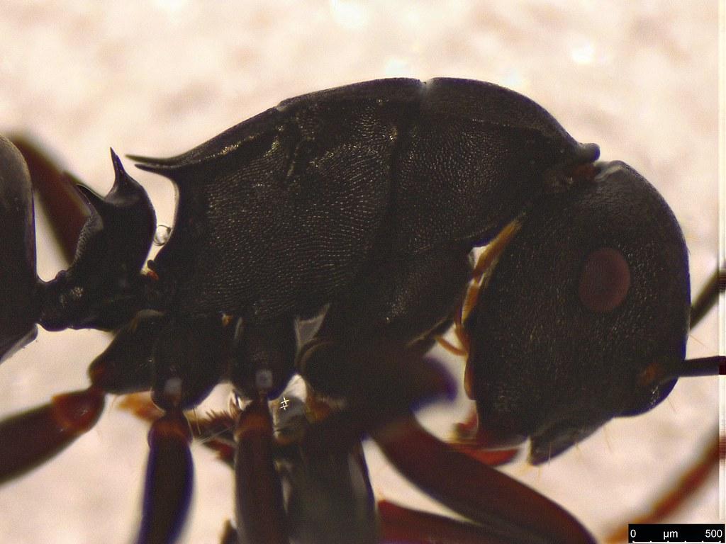 9c - Polyrhachis phryne Forel, 1907