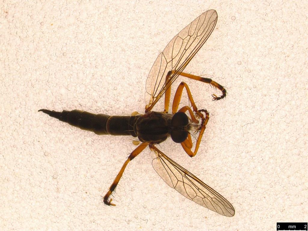 10a - Asilidae sp.