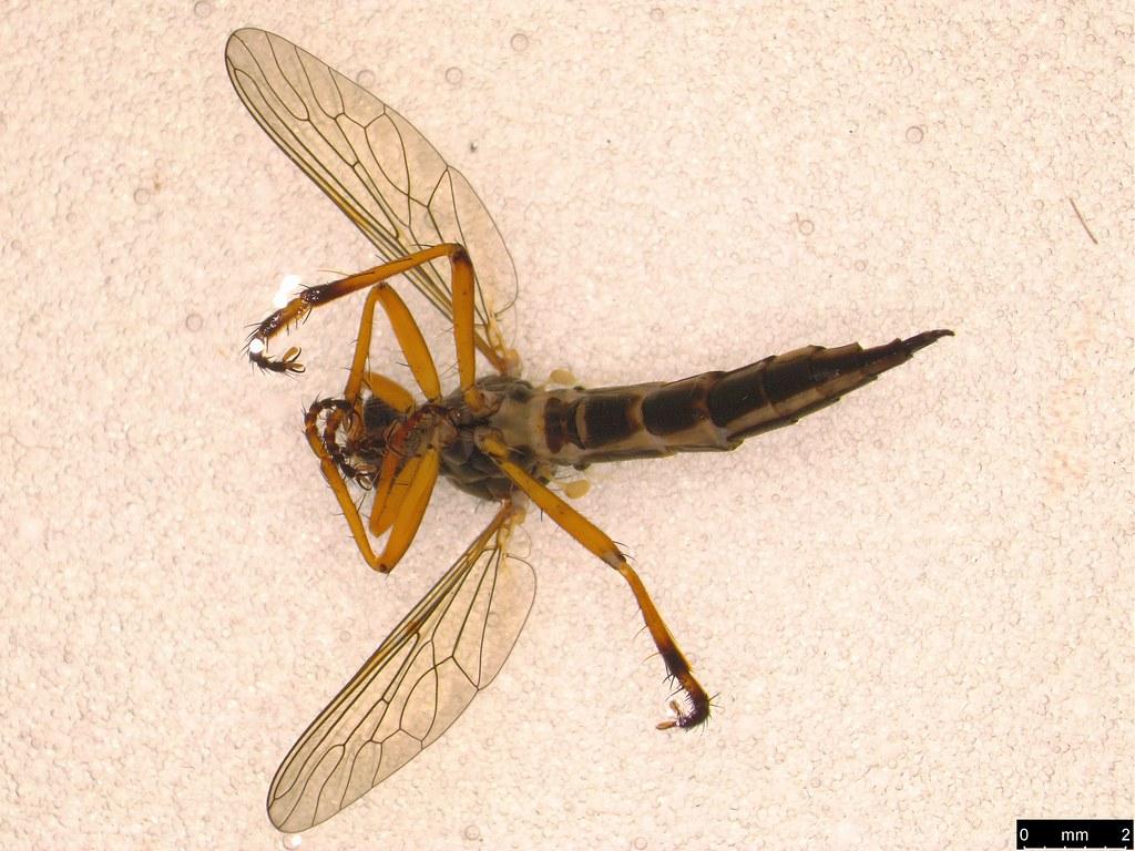 10b - Asilidae sp.