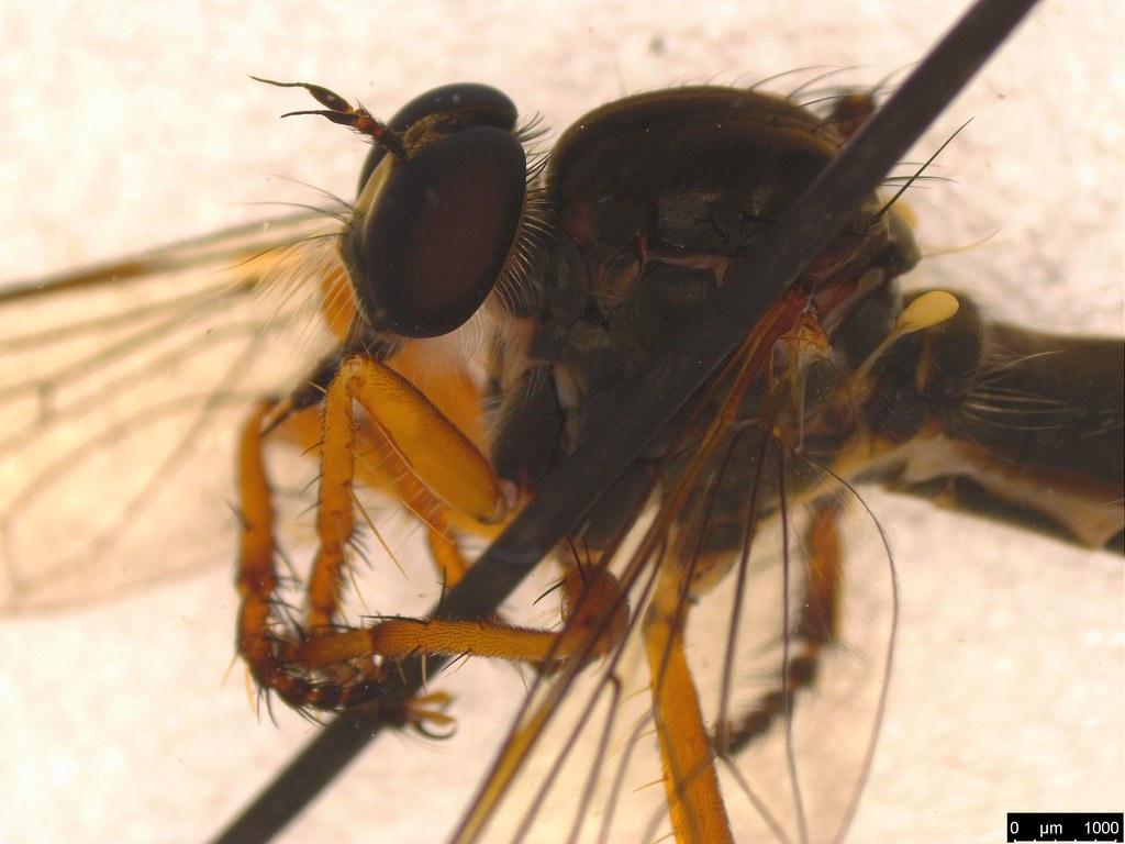10c - Asilidae sp.