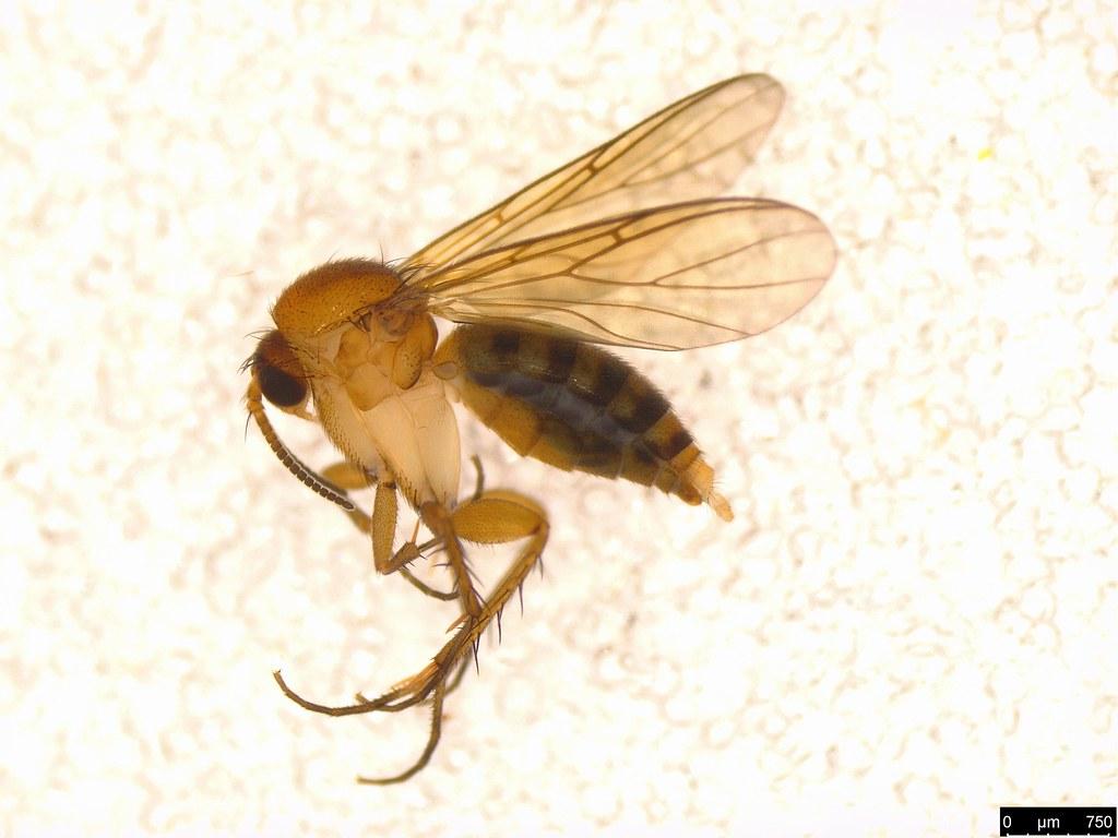 12 - Sciaroidea sp.