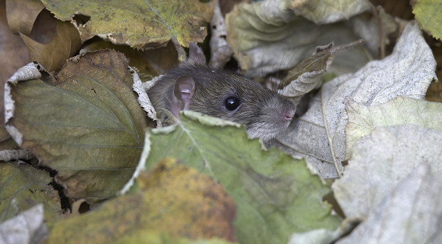 Rat in the leaves (2/4) : a head coming out