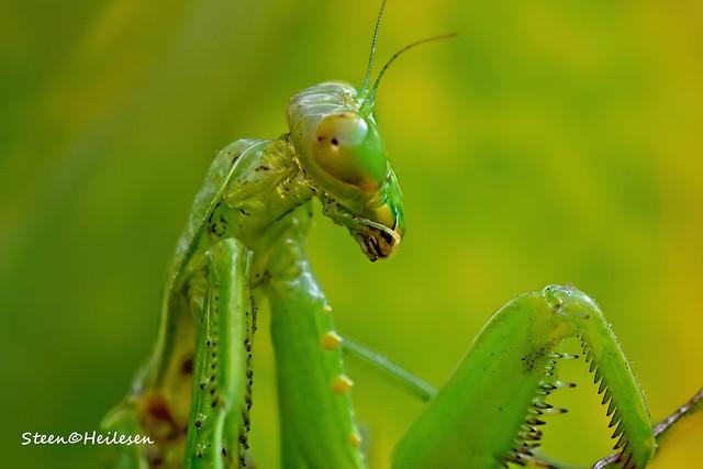 Praying Mantis - Hong Kong