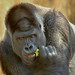 "<p><a href=""https://www.flickr.com/people/154721682@N04/"">Joseph Deems</a> posted a photo:</p>  <p><a href=""https://www.flickr.com/photos/154721682@N04/50652604958/"" title=""Elmo - Silverback Western Lowland Barrack""><img src=""https://live.staticflickr.com/65535/50652604958_fe6d8b54bd_m.jpg"" width=""237"" height=""240"" alt=""Elmo - Silverback Western Lowland Barrack"" /></a></p>  <p>Ft. Worth Zoo</p>"