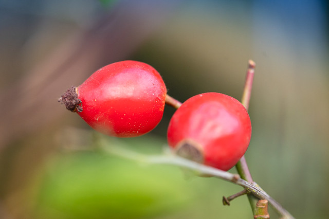 Colorful rose hips