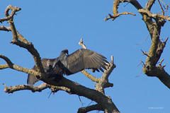 turkey vulture 4277