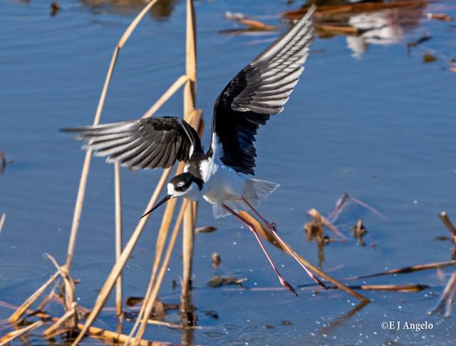 Black-necked Stilt (Himantopus mexicanus) 05583