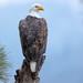 Bald Eagle Atop a Snag