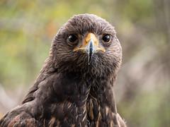 Hawk (15 of 15)