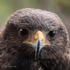 Hawk (10 of 15)