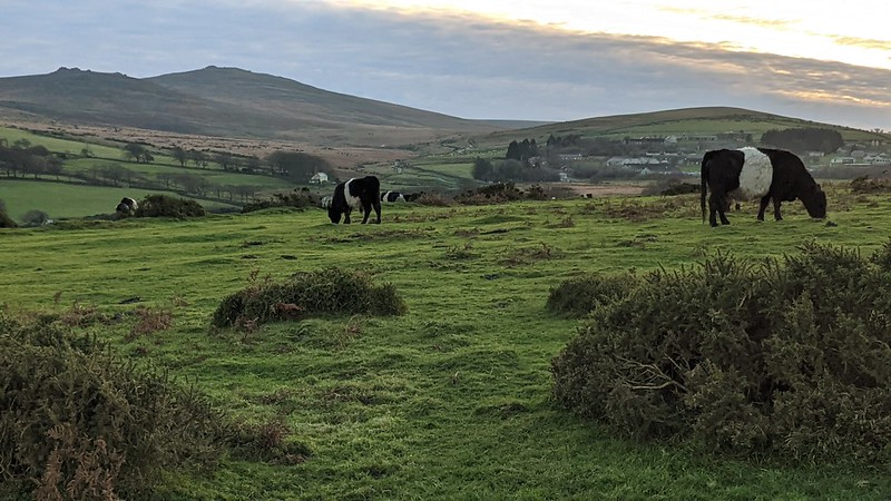Cattle on East Hill