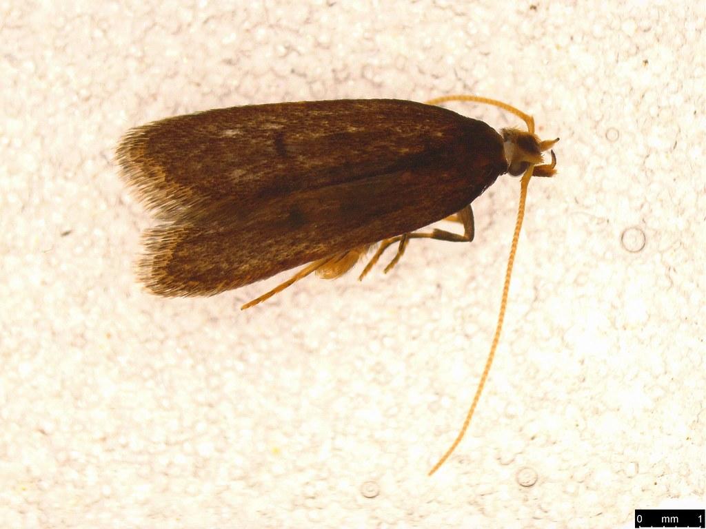 7b - Gelechioidea sp.