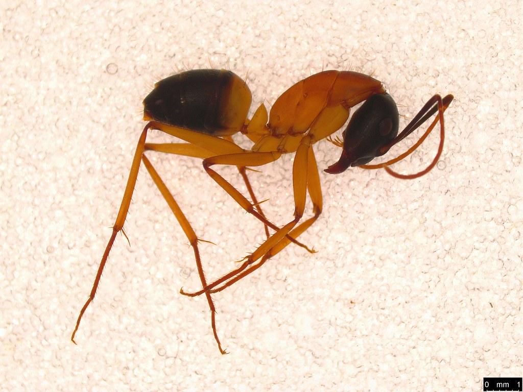 8 - Camponotus consobrinus (Erichson, 1842)