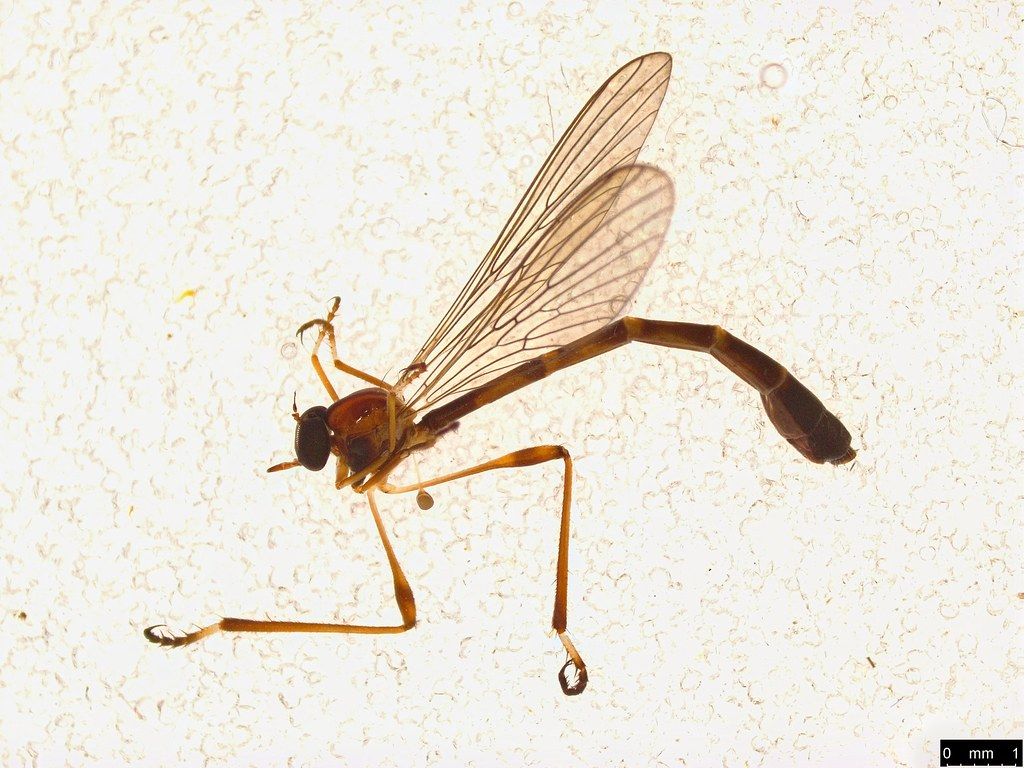 13a - Leptogaster sp.
