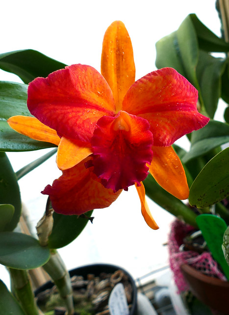 Cattlianthe Hazel Boyd 'Tropical Fantasy' hybrid orchid 11-20