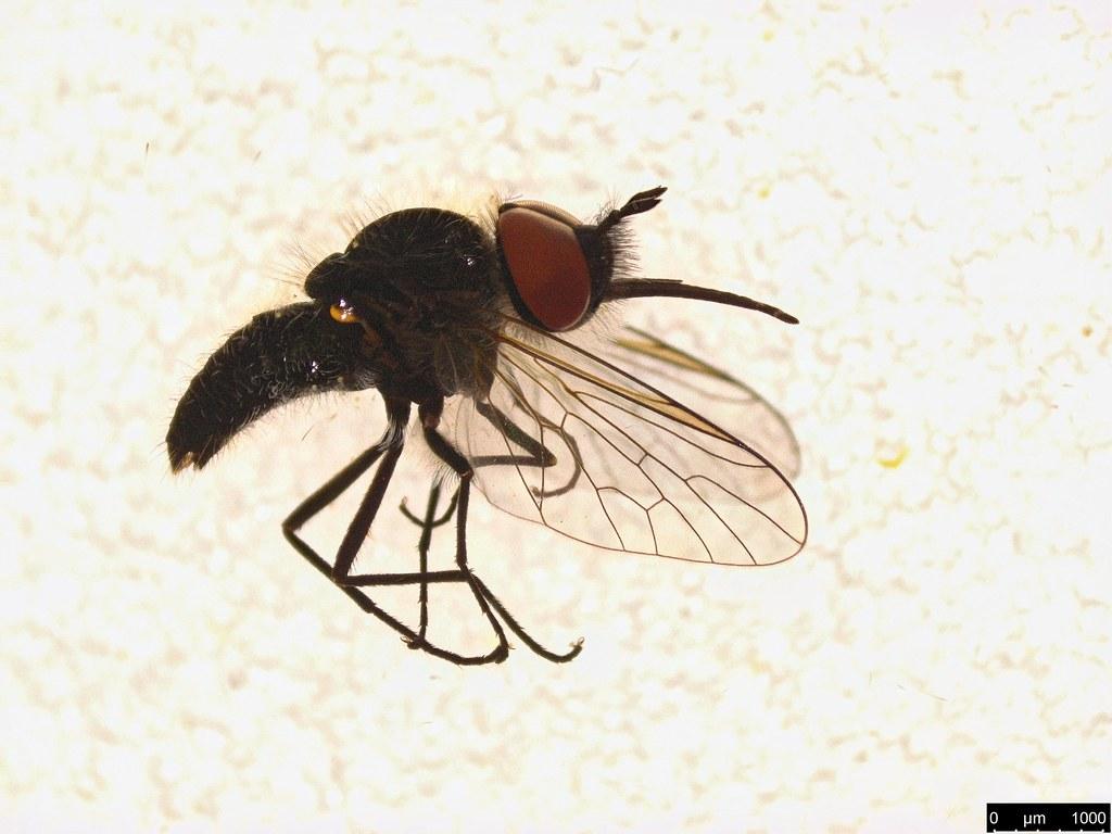 14 - Bombyliidae sp.