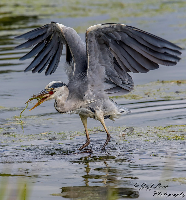 DSC3179  Grey Heron..