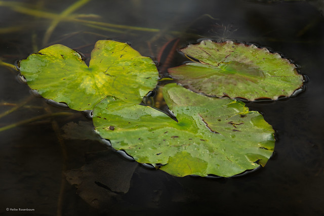 Water Lily Pads