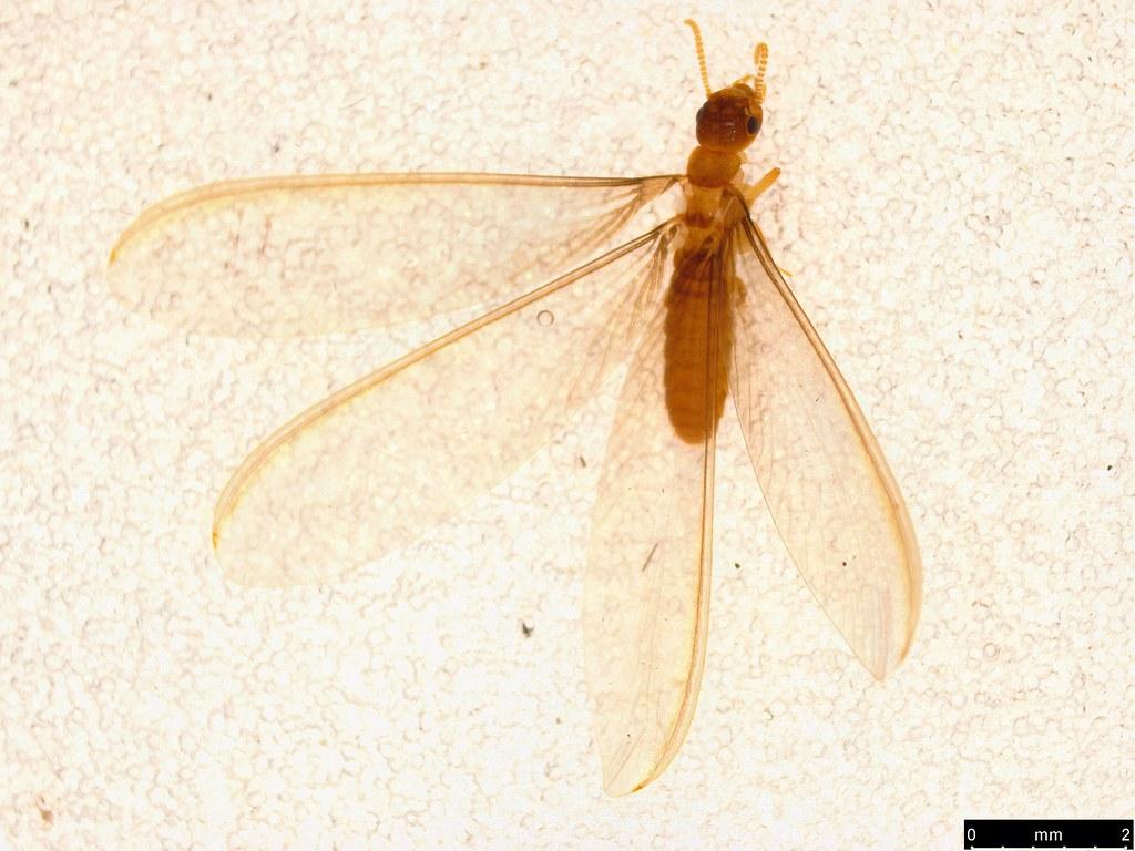 3 - Termitoidae sp.