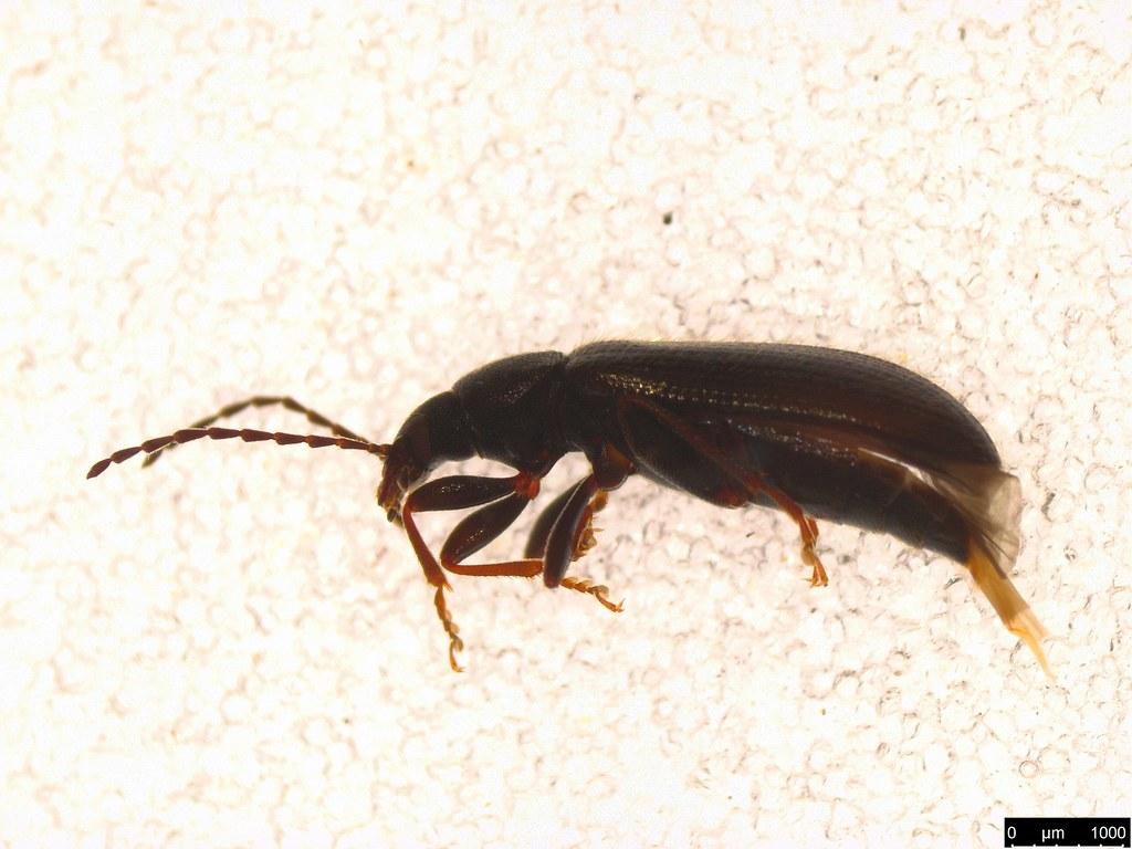 6a - Alleculinae sp.
