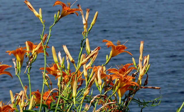 Wild Day Lilies, Coe Hill, Ontario
