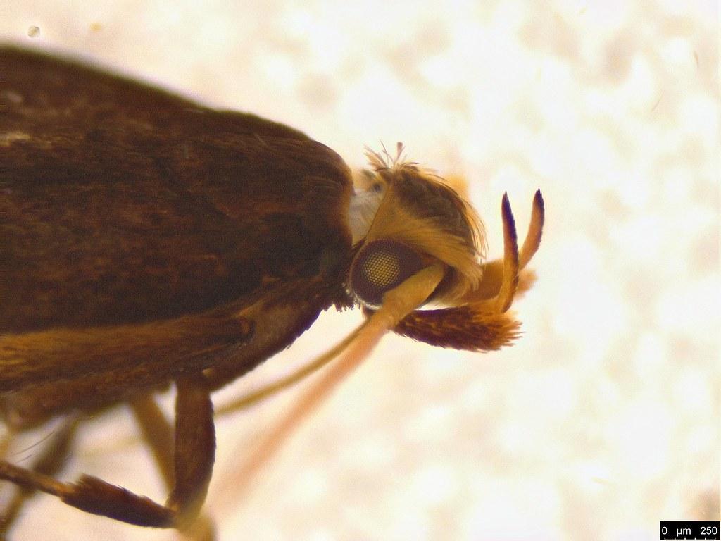 7c - Gelechioidea sp.