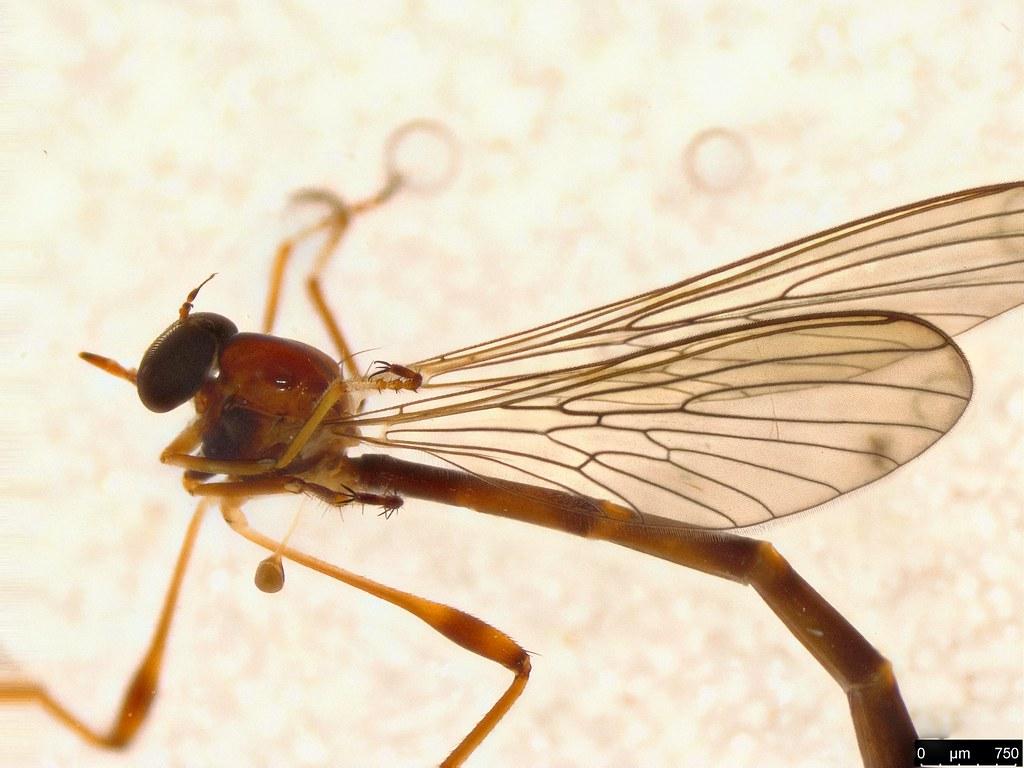13b - Leptogaster sp.
