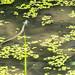 Kleine Ringenatter - davon waren einige in dem kleinen Wasser untwegs.