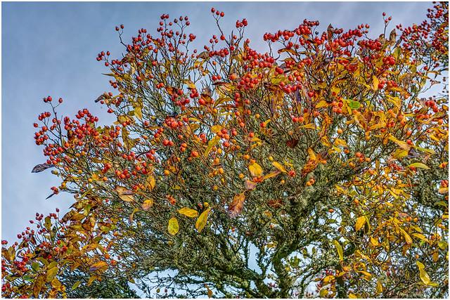 Red Berries - Whitebeam Mountain Ash.