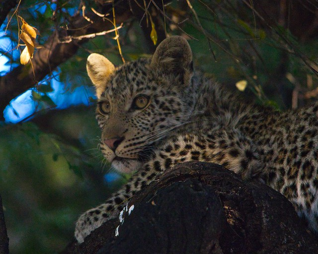 IMGP3398 Leopard