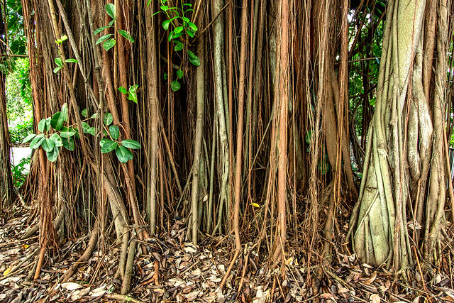 The Multitude Aerial Roots of a Fig Tree_2066