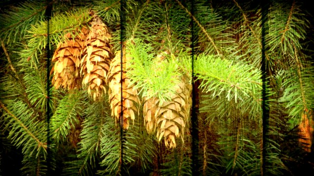 pine cones..... explored 20 11 2020