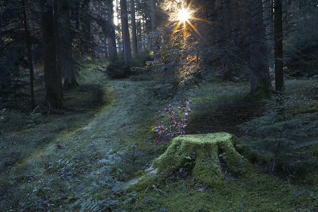 Menzleswald in der Goldenen Stunde