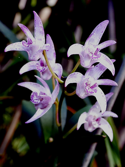 Dendrobium Jesmond Glitter hybrid orchid 11-20