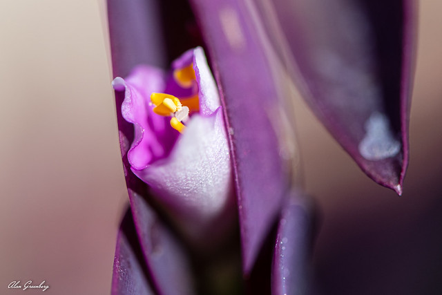 Tradescantia pallida (Wandering Jew) | World of Succulents researched by Steve Crane