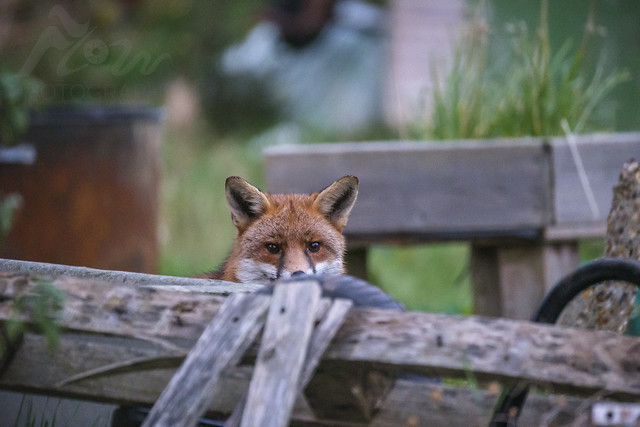 Junk Yard Fox
