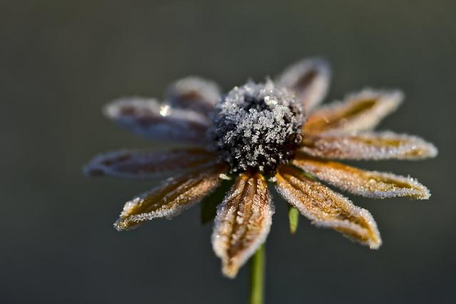 Frozen Rudbeckia