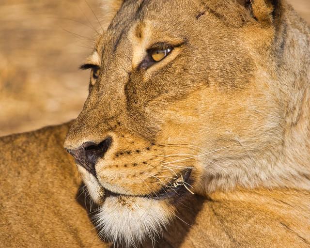 IMGP3463 Lioness Portrait
