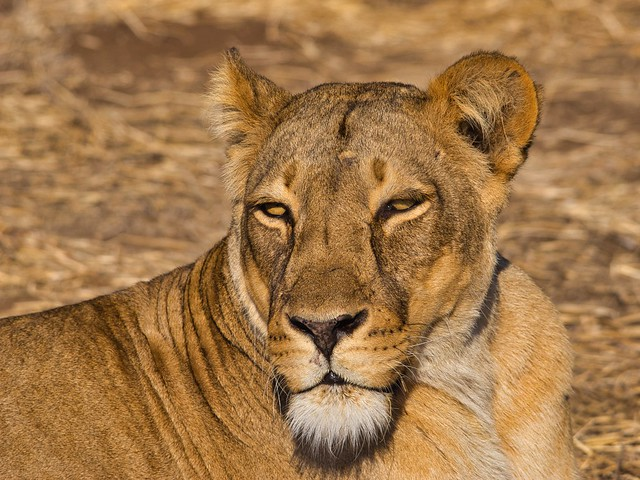 IMGP3467 Lioness
