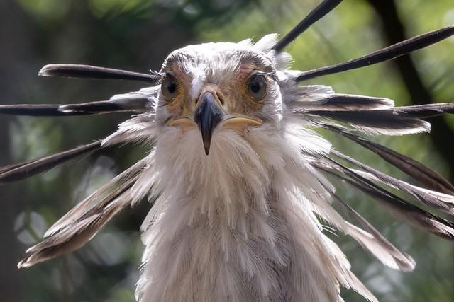 Beautiful secretary bird