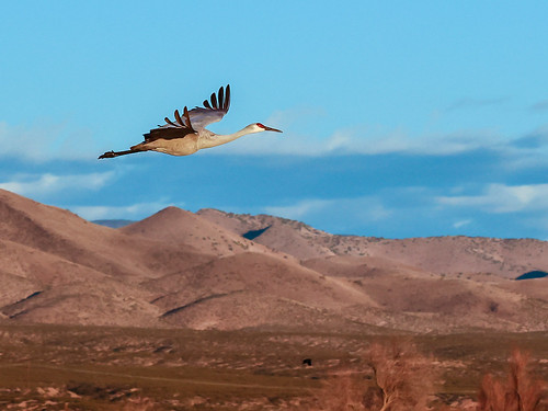 2020 bosquedelapache newmexico sandhillcranes blue brush flight landscape mountain natural nature outdoor outside sky trees wing