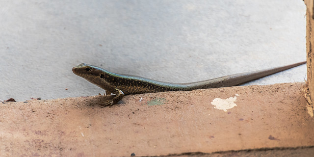 Eastern water skink visitor in the backyard