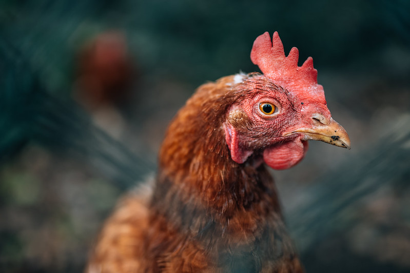Close-up portrait of a chicken through a fence