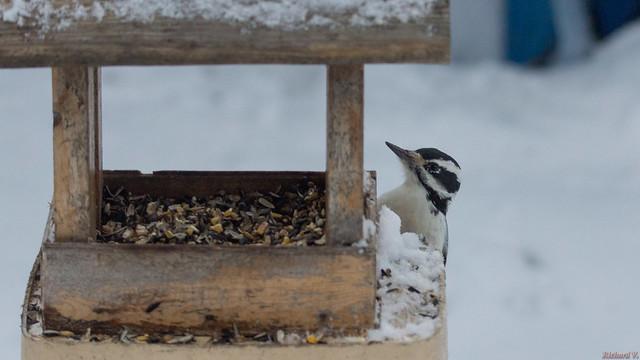 Pic chevelu - hairy Woodpecker , Québec, Canada  - 1659
