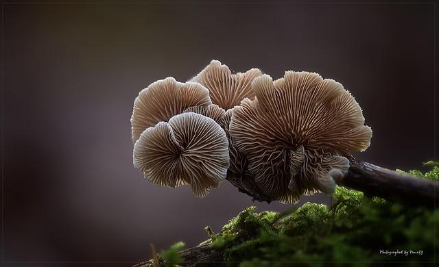 Pilze - Mushroom - Stummelfüßchen