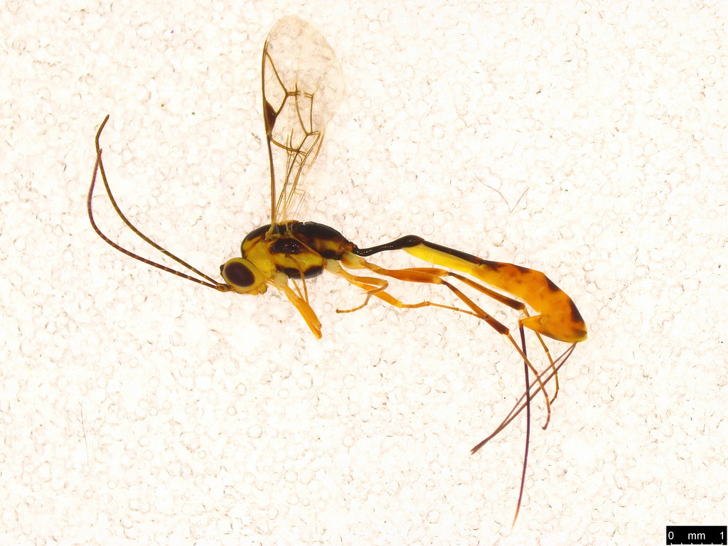 1 - Ichneumonoidea sp.