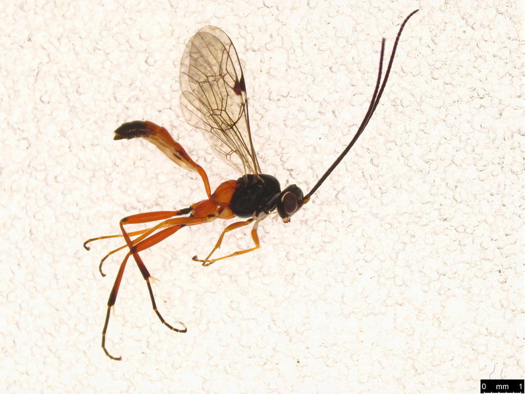 2 - Ichneumonoidea sp.