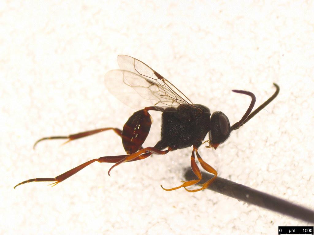8 - Evaniidae sp.